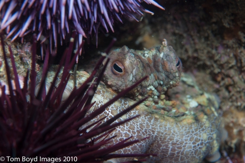 Two spot octopus in rocky reef at Palos Verdes