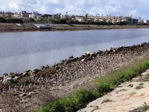 Curlews at Ballona Creek